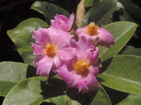 Pereskia grandifolia
