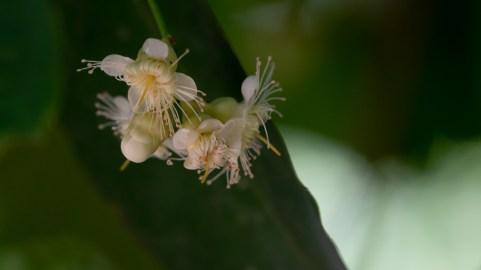 15 Syzygium aqueum