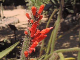Cleistocactus baumannii - cacto