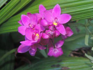 Spathoglottis plicata - Orquidea grapete