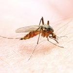 3 moyens naturels de lutte contre les moustiques