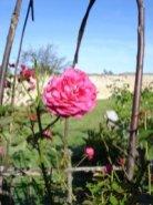 Une rose du verger