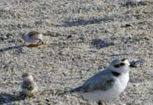 bird harassment snowy plover