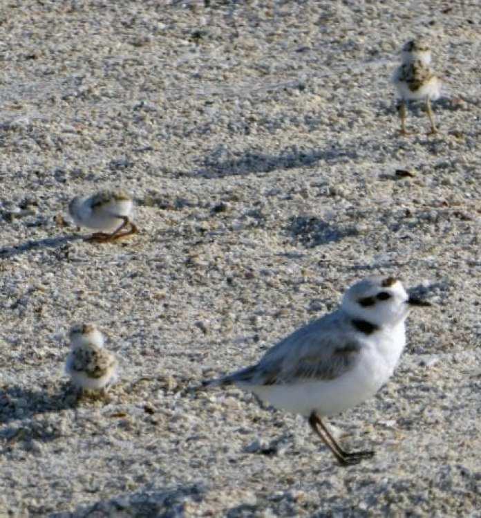 bird harassment snowy plover