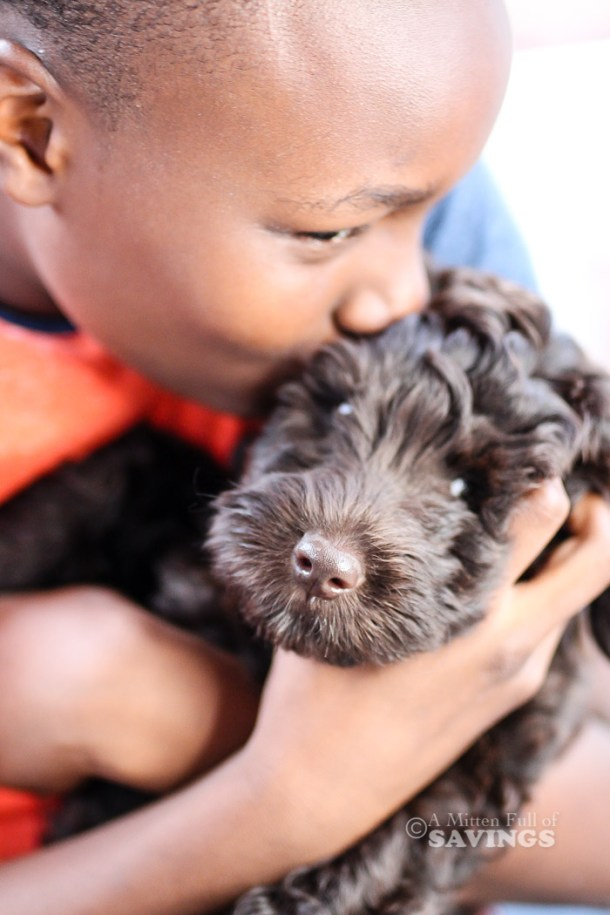 Chocolate Labradoodle Puppy in Michigan