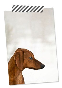 portrait of ammo the dachshund