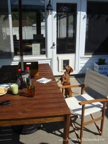 dachshund food