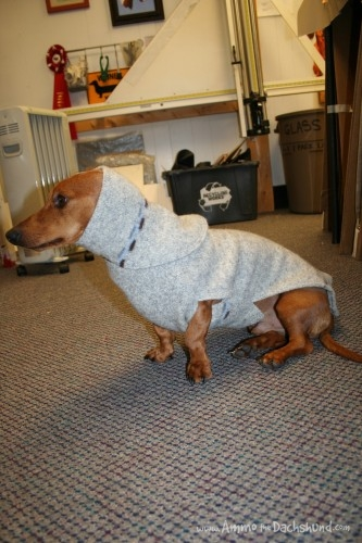 ammo the dachshund in sweater
