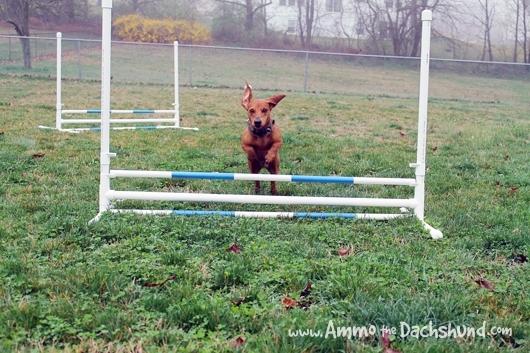 Ammo practices Dog Agility on his DIY Agility Jumps 2012