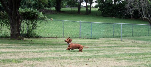 ammo the dachshund chasing deer