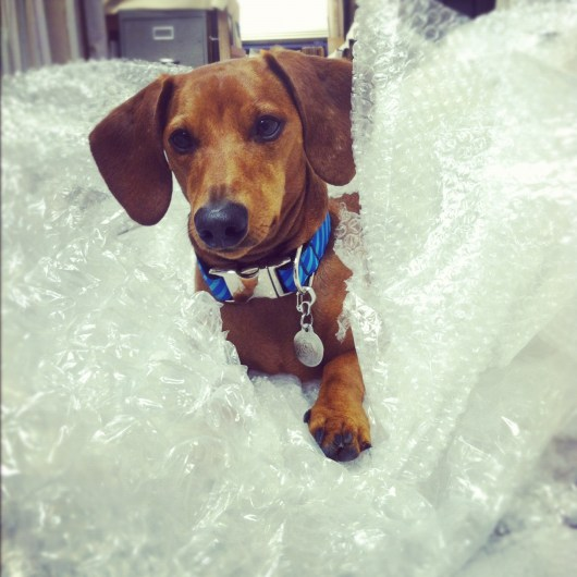 Ammo the Dachshund // Bubble Wrap King