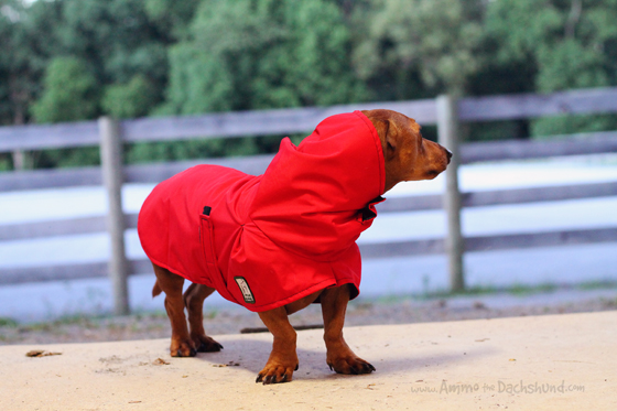 Voyagers K9 Apparel for Dogs // Product Review // Ammo the Dachshund