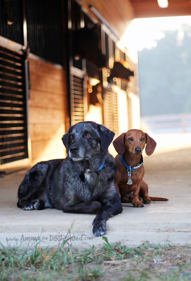 Best Friends // Ammo the Dachshund and Trooper