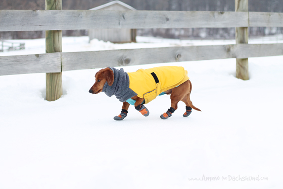 Ruffwear Summit Trex Dog Boots Review & GIveaway // Ammo the Dachshund