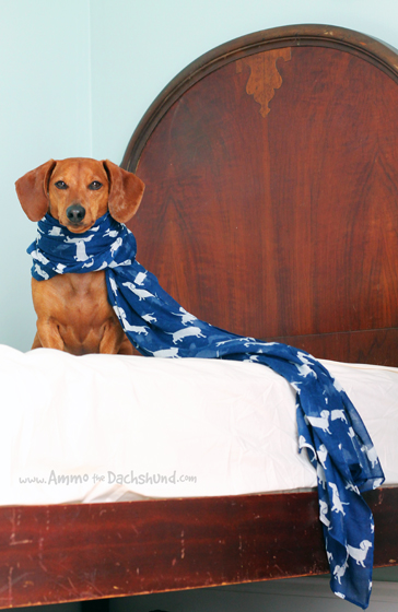 Purple Possum Dachshund Scarf Review & Giveaway // Ammo the Dachshund