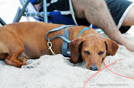 A Day At The Beach Ammo The Dachshund