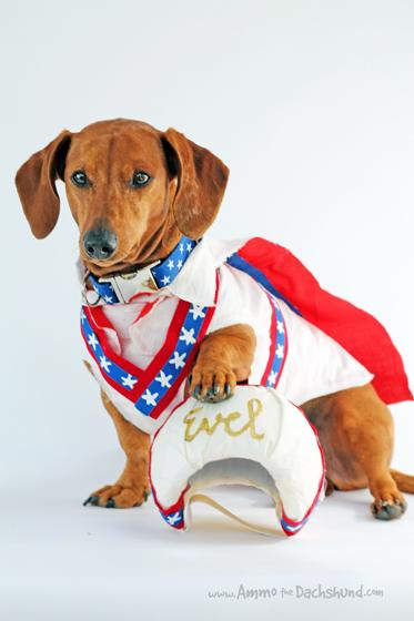 Evel Knievel // Ammo the Dachshund's Halloween Costume