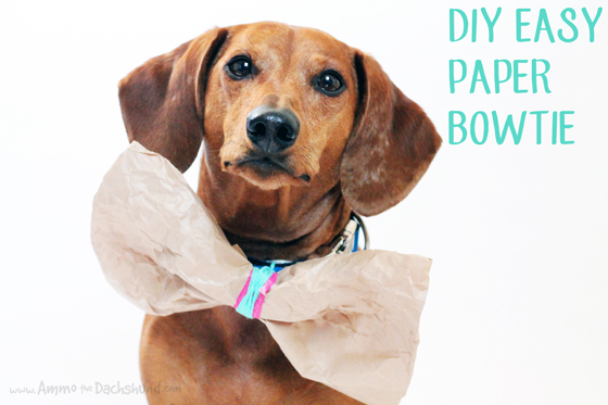 Birthday Week: Easy DIY Paper Bowtie // Ammo the Dachshund