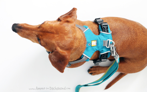 Ruffwear Front Range Harness Review & Giveaway // Ammo the Dachshund