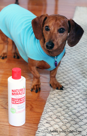 How To Remove Stubborn Pet Stains Ammo The Dachshund