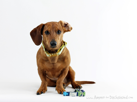 k9 Couture Collars Review & Giveaway // Ammo the Dachshund