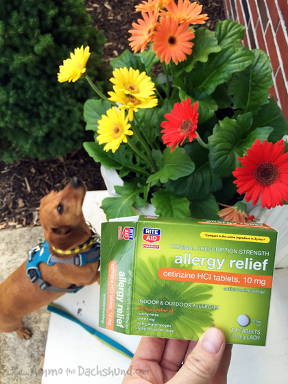 What To Do When Your Dog Has Seasonal Allergies // Ammo the Dachshund