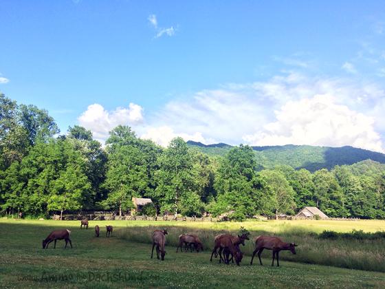 Elk // The Smoky Mountains // Ammo the Dachshund
