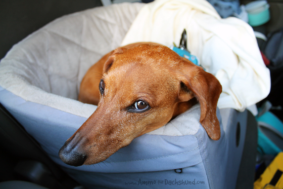 Pet Friendly Road Trip // The Great Smoky Mountains // Ammo the Dachshund