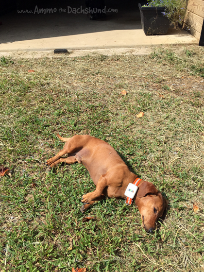 Should You Be Worried About Skin Cancer On Your Dog Ammo The Dachshund