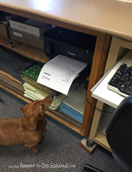 Working Smarter // Smart Dachshund helps out at work