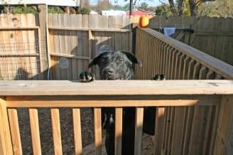 Kendra Peek/kendra.peek@amnews.com Bear looks over a railing.