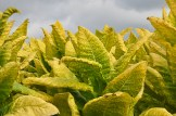 Golden leaves of tobacco are ready to be cut.