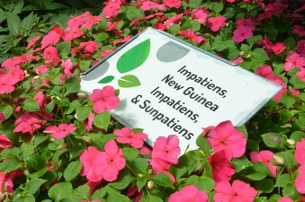 Impatiens are a popular flower in the FFA greenhouse