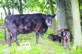 The mother of the two twins born on May 6 stands beside her calves.