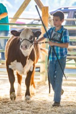 Jordan Hall, 11, of McKinney shows his Hereford cow, Goldie, who won a white ribbon.