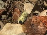 Photo by Casey Craiger An American Dagger Moth Caterpillar crawls on rocks alongside the creek.