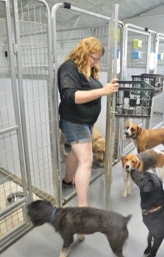 Following a morning of playtime outside, Kristen Wyatt puts a dog in a run, before settling the other dogs down for a rest inside the air-conditioned kennel.