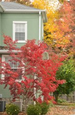 At a home on the corner of Broadway and Fouth Street, small tree with bold red leaves is just at brilliant as the much larger trees with yellow and orange leafs in the background.