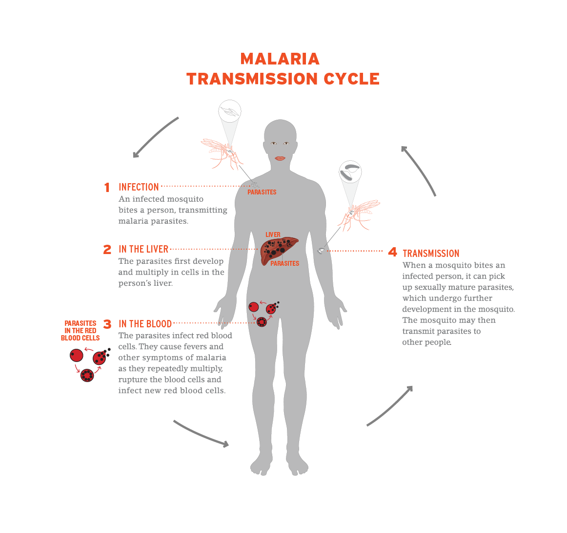 hight resolution of diagram of how malaria is transmitted