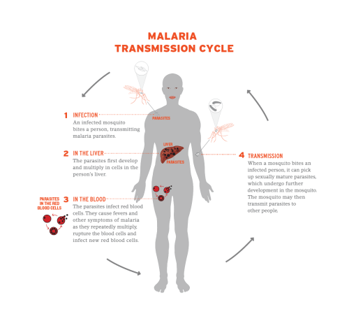 small resolution of diagram of how malaria is transmitted