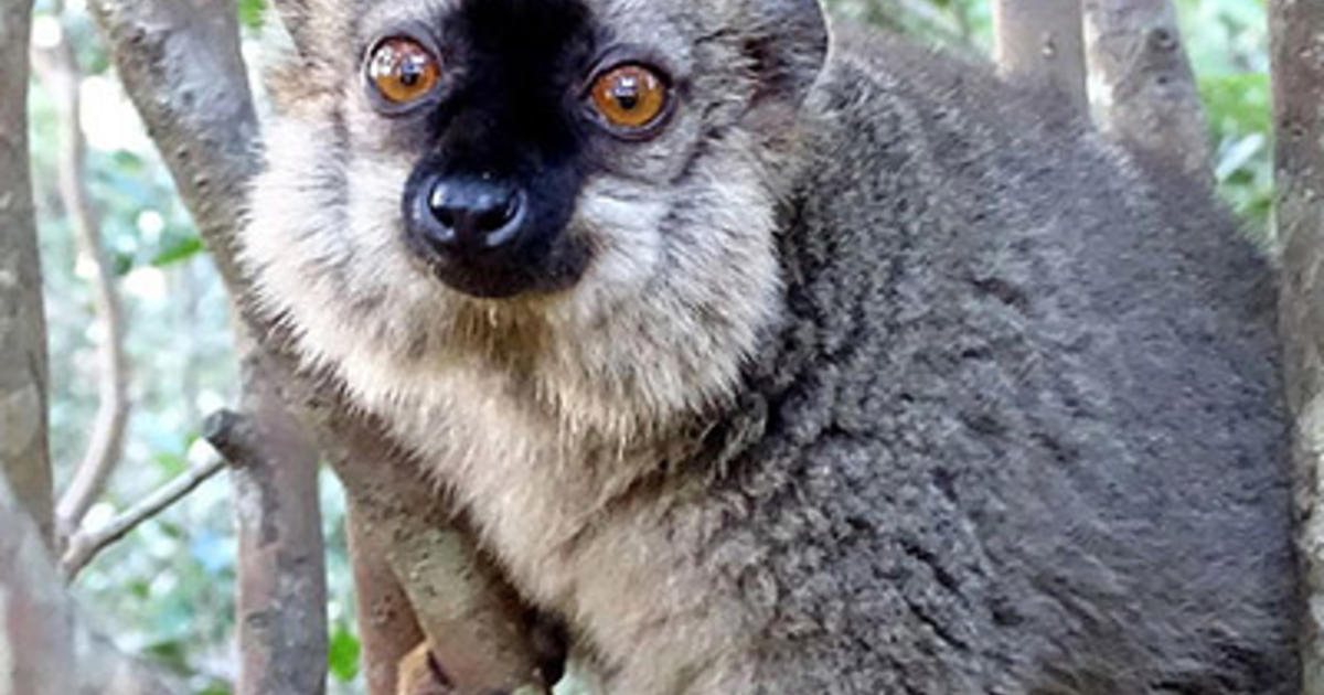 Island Life Drove Lemur Evolution  AMNH