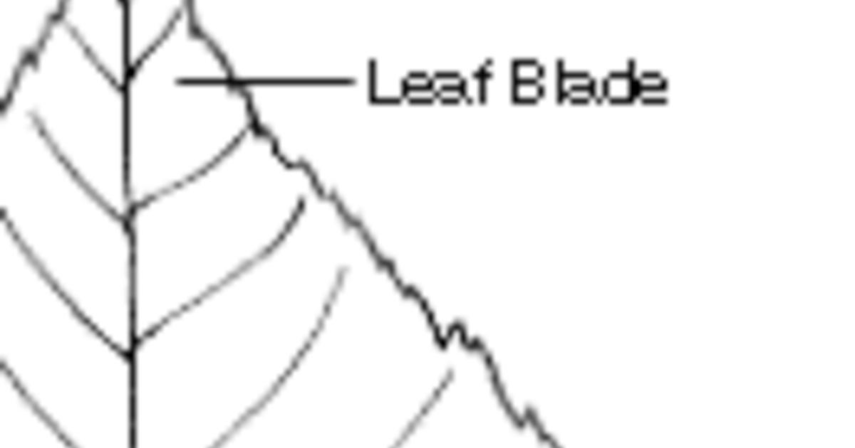 Plant Morphology: Leaf Margins