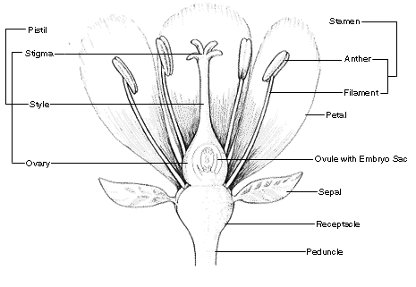 Plant Morphology Parts Of A Flower Lesson Plan Grades K-2