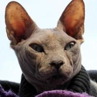 Il gatto Sphynx, Canadian Sphynx o gatto nudo