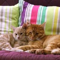 Come togliere i peli di gatto da divano e tessuti