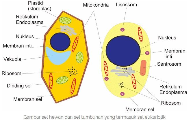 Perbedaan Sel Prokariotik Dan Sel Eukariotik Serta Contohnya