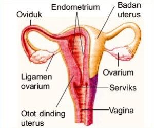 Materi Organ Reproduksi Manusia Lengkap dengan Gambarnya