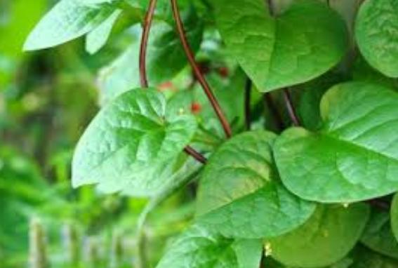 Cegah Asam Urat Tinggi dengan Rebusan daun Binahong