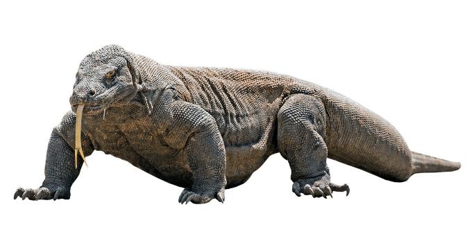 Fakta Unik dan Menarik Komodo Reptil Asli Indonesia Fakta Unik dan Menarik Komodo Reptil Asli Indonesia