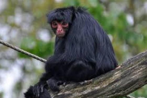 Fakta Menarik tentang Kehidupan Monyet yang Belum Banyak Diketahui Fakta Menarik tentang Kehidupan Monyet yang Belum Banyak Diketahui